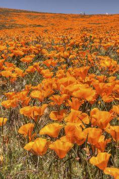 California Poppy Explosion