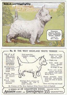 #westie cigarette card, published 1934