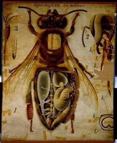 Anatomy of a honey bee..