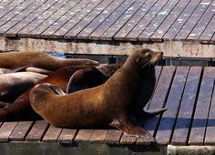 Sea lions on Pier 39 in San Francisco http://meriharakka.net/2015/02/23/san-franciscon-merileijonat/