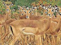 Impala - Warthog Lodge Animal Species, Nature Reserve, Impala, Kangaroo, South Africa, Wildlife, Vacation, Gallery, Animals