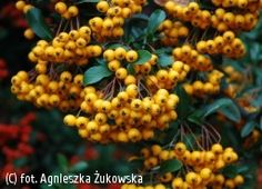 ognik 'Soleil d'Or' - Pyracantha 'Soleil d'Or'   Katalog roślin - e-katalog roślin