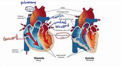 044 How Blood Flows Through the Heart