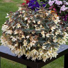 Nursery Seeds offers a great selection of seeds by nurseryseeds Inside Plants, Growing Seeds, Plants, Begonia, Organic Fertilizer, Flowers Perennials, Flower Seeds, Tuberous Begonia, Herb Seeds
