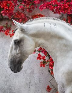 Extremely beautiful white horse with a curved down nose. Lusitano, Portugal | Ekaterina Druz. Lovley red flowers on the wall in the background.