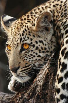 La enorme belleza salvaje centrada en esta Magnífica foto de leopardo...... Extraordinaria!!!❤❤