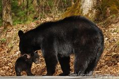 May Bear RIP : Deb Campbell Photography - Blue Ridge Mountain Life Blue Ridge Mountains, Great Smoky Mountains, Bear Cubs, Bears, Picnic Spot, All About Animals, Closer To Nature, Mothers Love, Black Bear