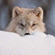 Arctic Wolf  STOP KILLING WOLVES !