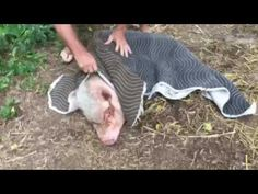 The veterinarians advice on how to catch, restrain, and keep your pig calm so you can safely and easily trim the hooves. Pet Pigs, Baby Pigs, Cute Little Animals, Little Pigs, Juliana Pigs, Pig Nails, Micro Mini Pig, Pig Information, Pigs Eating