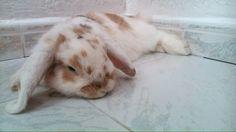 I'm Bigotis and I'm a belier rabbit