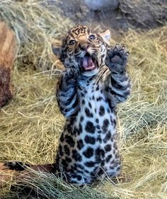 San Diego Zoo's photogenic Jaguar cub is proving himself to be quite the…