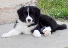 Border Collie Puppies, Collie Dog, Pet Dogs, Doggies, Working Dogs, Australian Shepherd, Cute Puppies, Corgi, Cute Animals