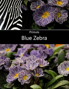 New for 2013! Primula Blue Zebra