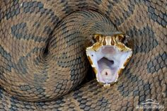 Water Moccasin: A venomous snake, and species of pit viper, found in the southeastern United States. Also called Cottonmouth.