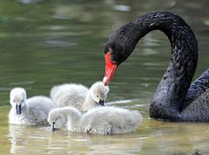Black Swan and her babies. Love exists at all levels.
