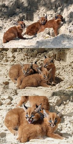 The name caracal comes from the Turkish word 'karakalak' which means 'a black ear.' It is a medium-sized animal native to the deserts and savannahs of Africa, Central Asia, the Arabian Peninsula and the Caspian Sea coast. Caracal Cat, Serval, Big Cats, Cool Cats, Beautiful Cats, Animals Beautiful, Lynx, Exotic Cats, Wild Creatures