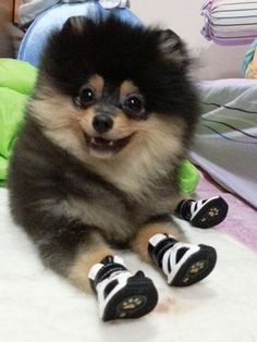 adorable pomeranian #pom ahhh this is so cute!!!