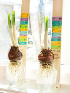 While you grow bulbs this spring, take the time to experiment with the kids using a bulb growth chart.