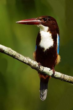 White Throated Kingfisher | by gary1844