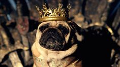 "The couple's past pugs productions include the Pugs of Middle Earth, which featured characters from The Lord of the Rings, as well as rock star pugs, lifeguard pugs and pugs in Parka jackets. | A Couple Have Recreated ""Game Of Thrones"" With Their Pugs And It's Magnificent"