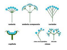 inflorescencia espiga - Pesquisa Google