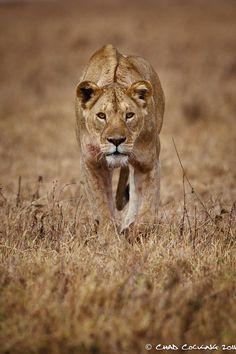 lioness in Ngorongoro Crater, Tanzania