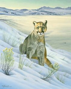 'Cougar in Snow' Art Print by Paul Krapf Wildlife Paintings, Wildlife Art, Animal Paintings, Animal Drawings, Big Cats Art, Cat Art, Snow Artist, Painting Snow, China Painting