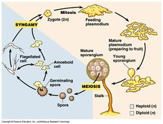 The life cycle of a typical slime mold. Brought to you by: Benjamin Cummings