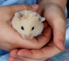Resultado de imagem para fotos de hamsters branco e marrom