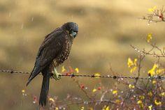 New Zealand Falcon