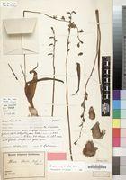 Albuca sudanica