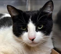 Sweet black and white kitty on the euth list in NYC. Can you help us rescue her tonight? #kitten #black #white #cat# #pet