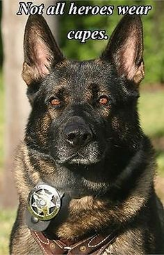COP EYES - Compare this dog's face with that of the other German Shepherd dog on this page. Corgi Funny, Funny Dogs, Funny Animals, Military Working Dogs, Military Dogs, Police Dogs, Cop Dog, Police Police, Canis Lupus