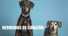 El Doberman y el Beagle eran como hermanos. A pesar de su diferencia de tamaño, los dos compartían un vínculo increíblemente estrecho y para ellos fue demasiado doloroso separarse luego de ser abandonados. Beagle, Dogs, Old Dogs, Baddies, Siblings, Animales, Beagle Hound, Pet Dogs, Doggies