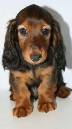 Omg, it's Baby as a puppy! Had a doxie that looked just like this! by cora