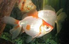 How to make a goldfish live for decades. (who knew they could live that long!!)
