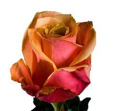 Google Image Result for http://www.wholeblossoms.com/images/cherry-brandy-rose.jpg