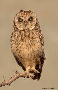 Búho campestre (Asio flammeus) Owl Photos, Owl Pictures, British Wildlife, Wildlife Art, Owl Bird, Pet Birds, Owl Species, Owl Artwork, Short Eared Owl
