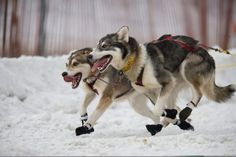 2 dog sled racer - Google Search