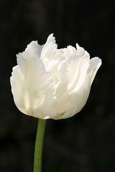 White parrot tulips- love the fringe
