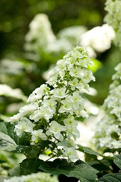 Hydrangea quercifolia Snowflake™. Oakleaf hydrangea is one of our favorite shrubs, and can handle both sun and shade.