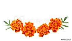 Orange Marigold flower, Tagetes erecta, Mexican marigold, Aztec marigold, African marigold isolated on white background – tuto apodobné fotografie naleznete ve službě Adobe Stock Farm Logo, Marigold Flower, Aztec, Body Art, Adobe, Mexican, Orange, Flowers, Plants