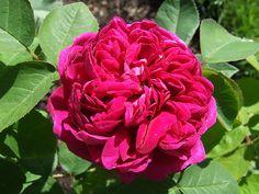 Rose De Rescht - Damask   photo by #ralphaverbuch  #Antique_Rose #Rose_De_Rescht