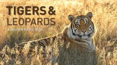 Tigers and Leopards by Squiver. This is an impression of a unique and spectacular photo tour, focusing on the two prettiest and most elusive big cats: tigers and leopards. Pretoria, Nature Film, Leopards, Big Cats, National Geographic, South Africa, Two By Two, Tigers, Pictures