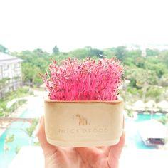 Happy Chinese New Year 2017!! • • #microgreens #redamaranth #microfoodindonesia #movenpick #nature #bright #food #nature #sky #outdoors #travel #landscape #beautiful #photooftheday #cny