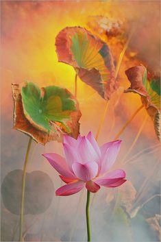 Arise Bahman Farzad Photograph Floral Flower Lotus Print Poster 26x18