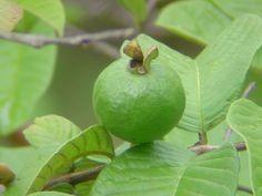 Aunque no lo creas las hojas de la guayaba son tan beneficiosas como su fruta. De echo, hace mucho tiempo los aztecas la utilizaban como un remedio natural para tratar diferentes enfermedades.