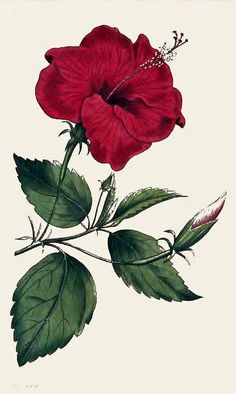 Old Hibiscus Flower Drawing Old Hibiscus Flower Drawing. Old Hibiscus Flower Drawing. Stock Vector in hibiscus flower drawing Old Hibiscus Flower Drawing Hibiscus Rosa Sinensis China Rose Hibiscus From William Hawaiian Flower Drawing, Hibiscus Flower Drawing, Flower Art, Hibiscus Flowers, Vintage Botanical Prints, Botanical Drawings, Antique Prints, Graphics Fairy, Botanical Flowers