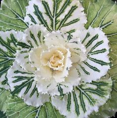striking ornamental kale...