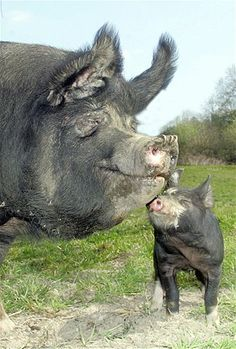 A piglet and a pig close their eyes and savor the moment.